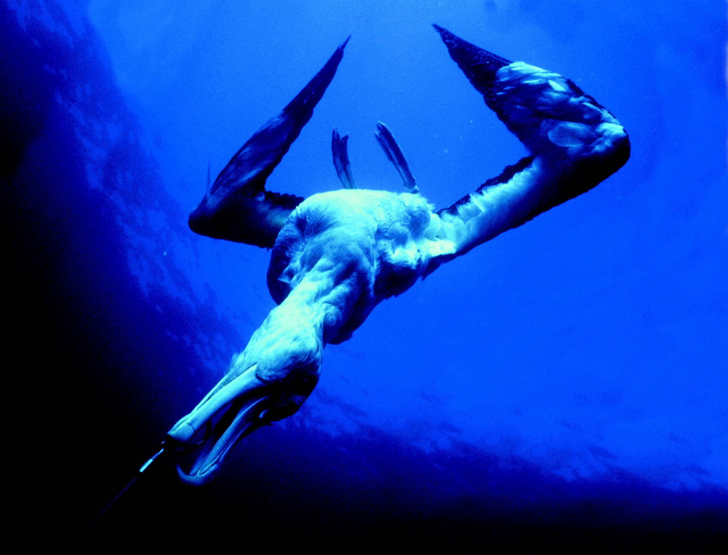 EMBARGOED UNTIL MIDNIGHT NOVEMBER 9, 2004 - A wandering albatross, caught on a longline hook is dragged under water in this undated file photo. Satellite tracking data has shown the global zones where longline fishing trawlers and albatrosses cross paths, often with fatal consequences for the majestic sea birds, according to a report collated by UK-based BirdLife International and the Royal Society for the Protection of Birds (RSPB). More than 300,000 seabirds, including 100,000 albatrosses,are believed to drown each year because they are lured by baited hooks and then pulled under the water. NO ARCHIVE REUTERS/HO/RSPB/Graham Robertson/Australian Antarctic Division
