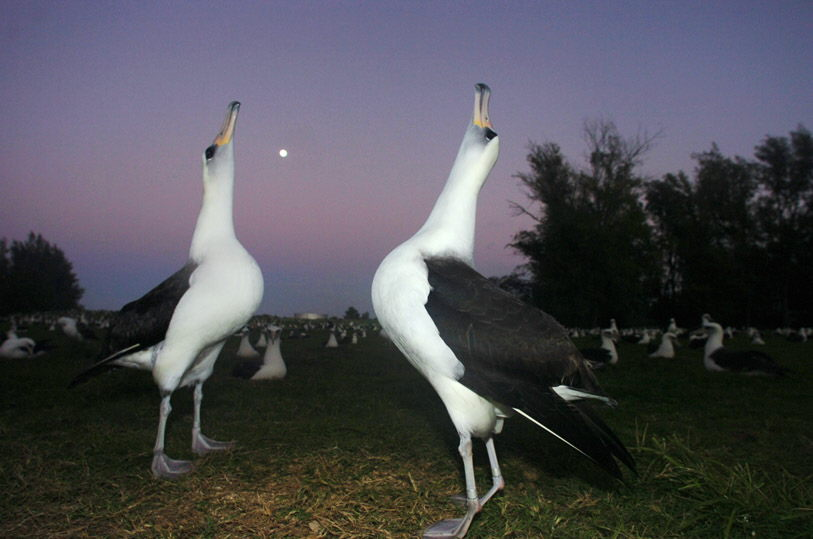 Laysan albatrosses, also known as gooney birds, are shown on Midway Island in the Midway Atoll National Wildlife Refuge, in a photo from Dec. 13, 2005. First lady Laura Bush arrived on Midway Atoll on Thursday, March 2, 2007, along with Interior Secretary Dirk Kempthorne, to make her first visit to the Northwestern Hawaiian Islands Marine National Monument, created by her husband last spring. (AP Photo/Lucy Pemoni)
