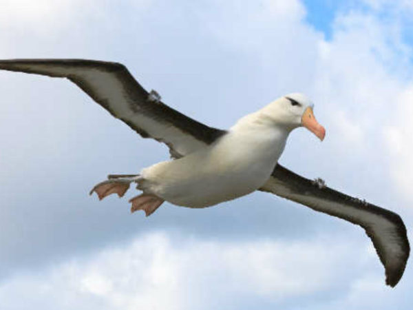 albatros-volando-600x450